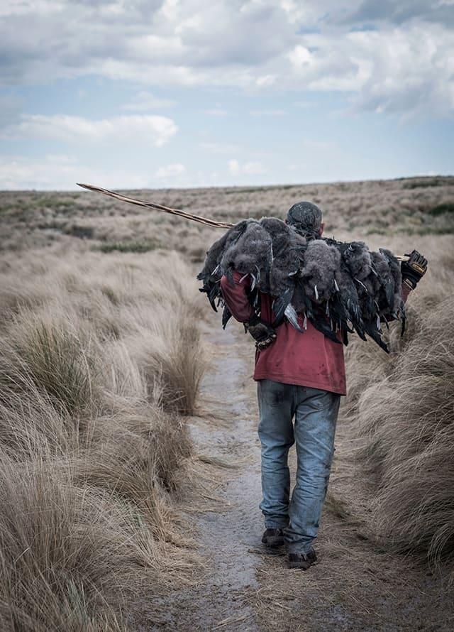 flinders island muttonbirds